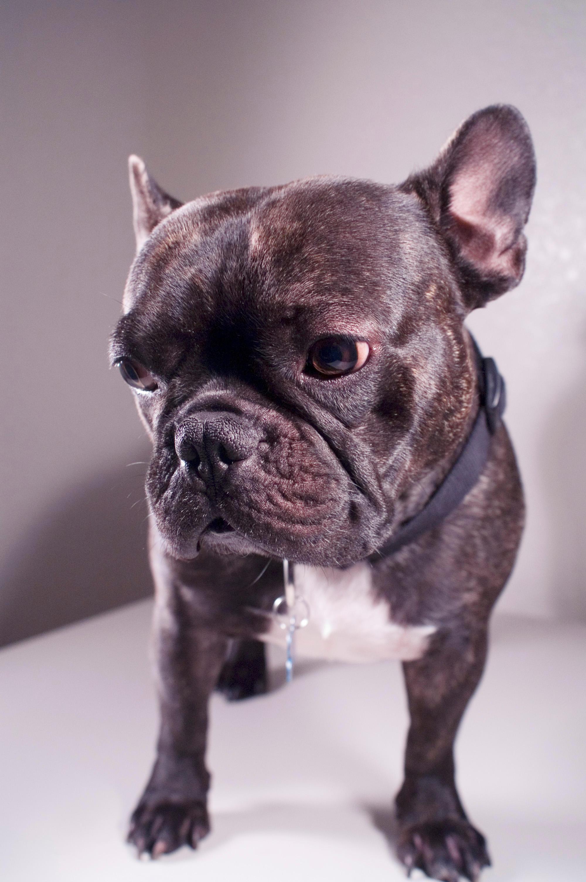 French Bulldog by speckone on deviantART