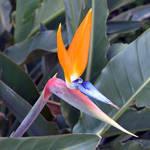 Bird of Paradise 3