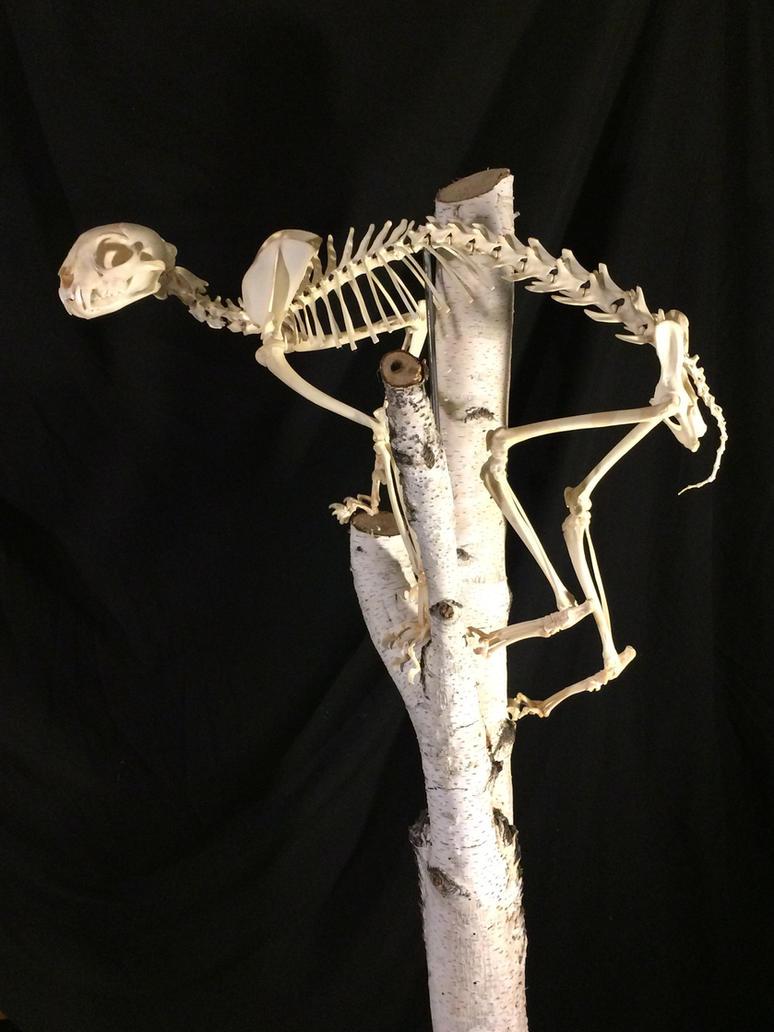 Lynx Rufus (bobcat) skeleton by Smerjeevski