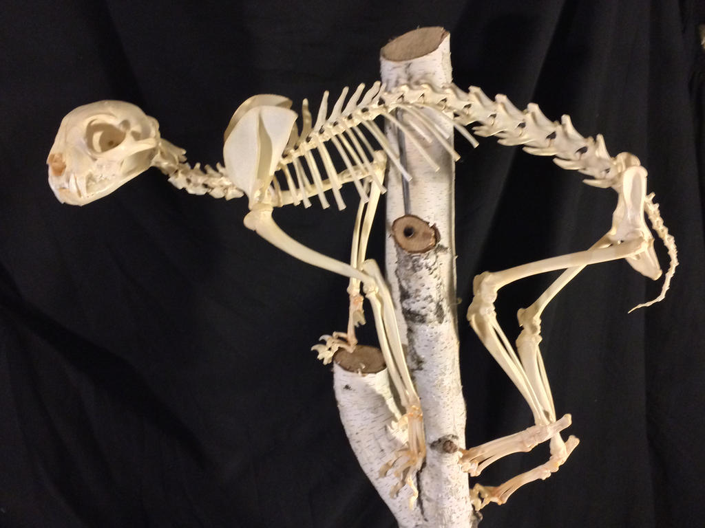 Lynx rufus (bobcat) Skeleton. by Smerjeevski