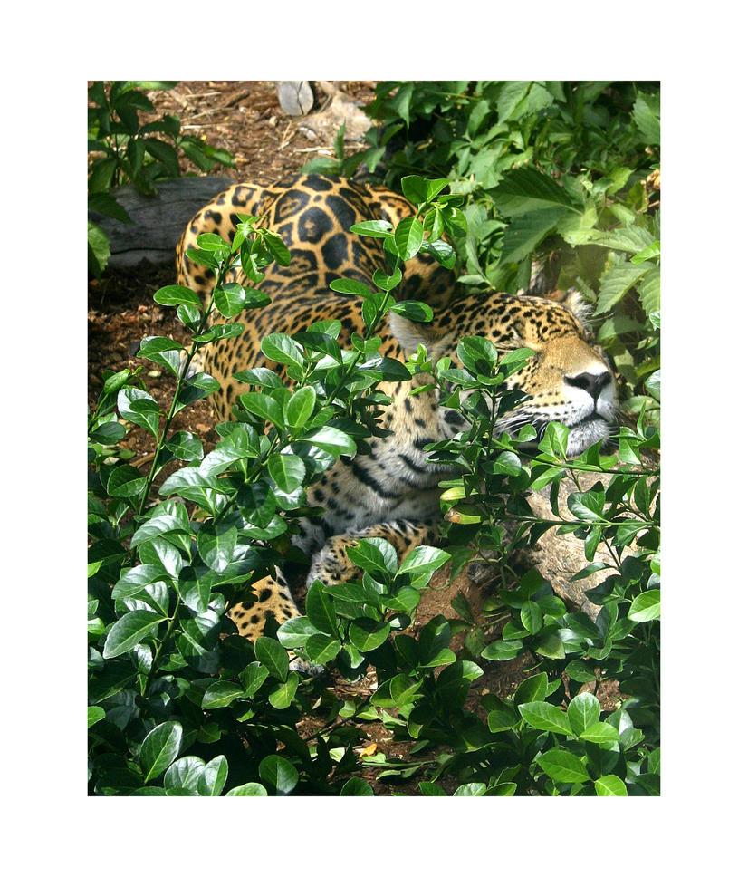 Crouching Jaguar: Crouching Jaguar By BigCats On DeviantArt