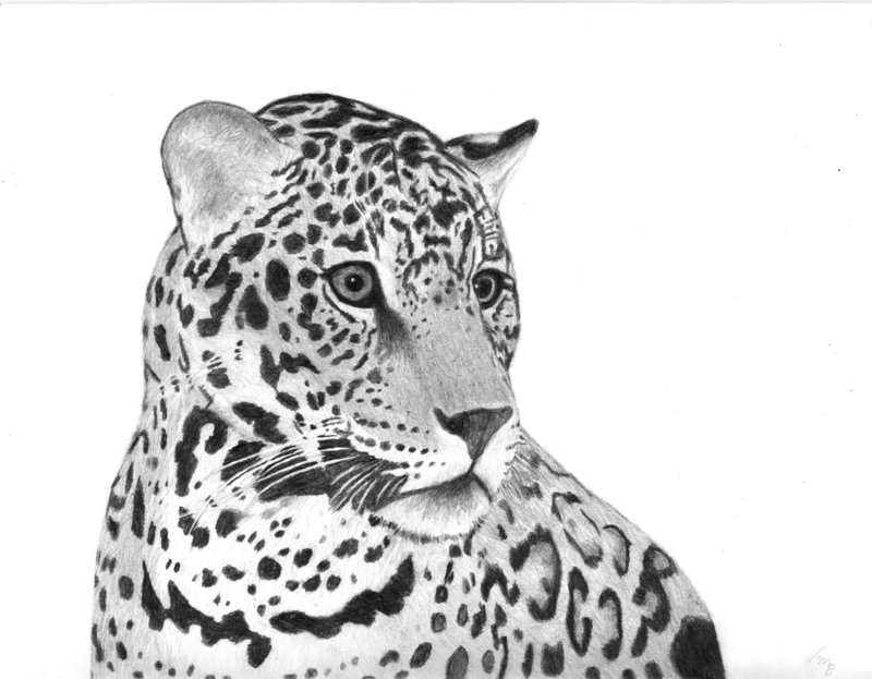 jaguar print drawing by bigcats