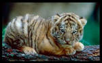 tiger cub by crimson-tiger-fl