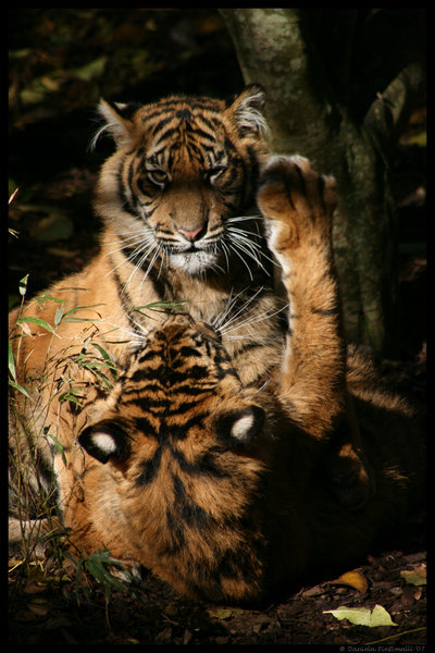 Baby tigers face - photo#13