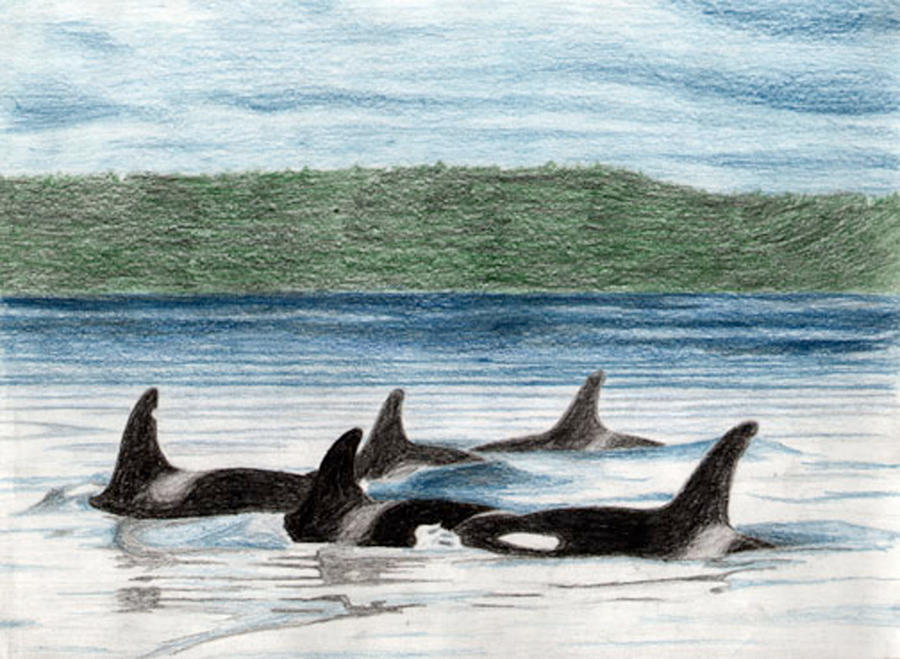 Killer whale pod. Several seals try to escape from a pod ... |Pod Of Orcas Drawing