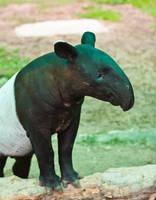 Tapir by WonderfulIndonesia