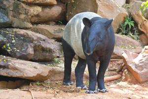 Wild Tapir by WonderfulIndonesia