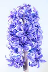Hyacinth-01 by Dashka-bird