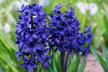 Hyacinth-03 by Dashka-bird