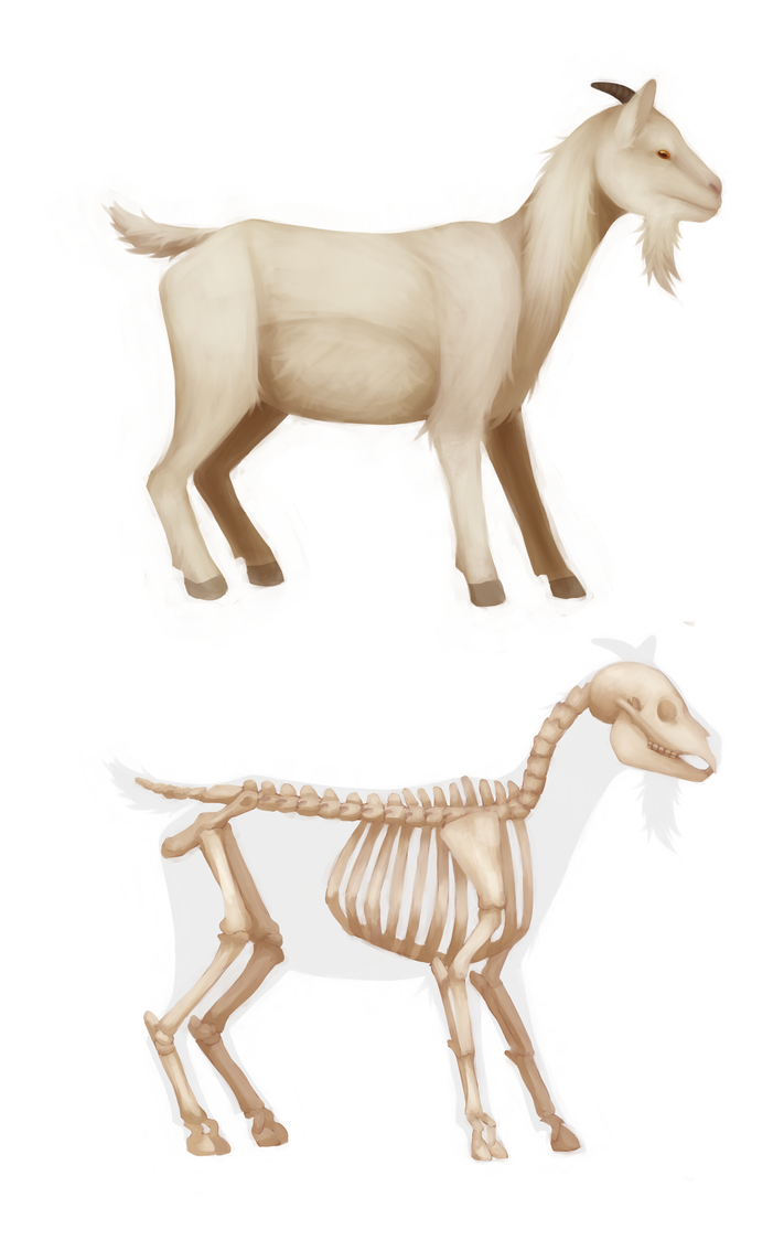 Goat anatomy by KO3LNHA on DeviantArt