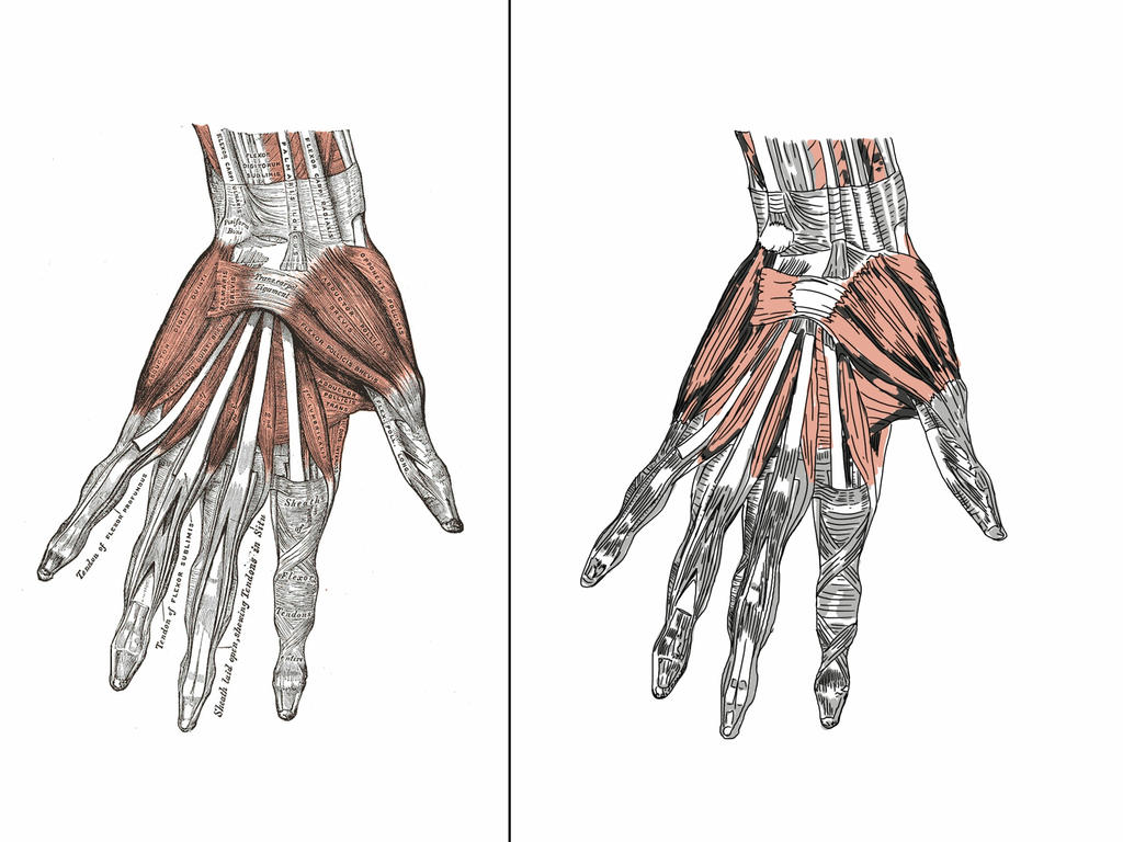 Anatomy The Hand Muscles By Jags4 On Deviantart
