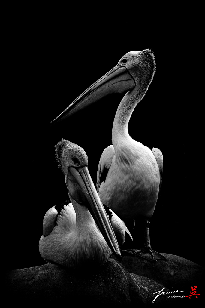 The Pelicans by FrankGo