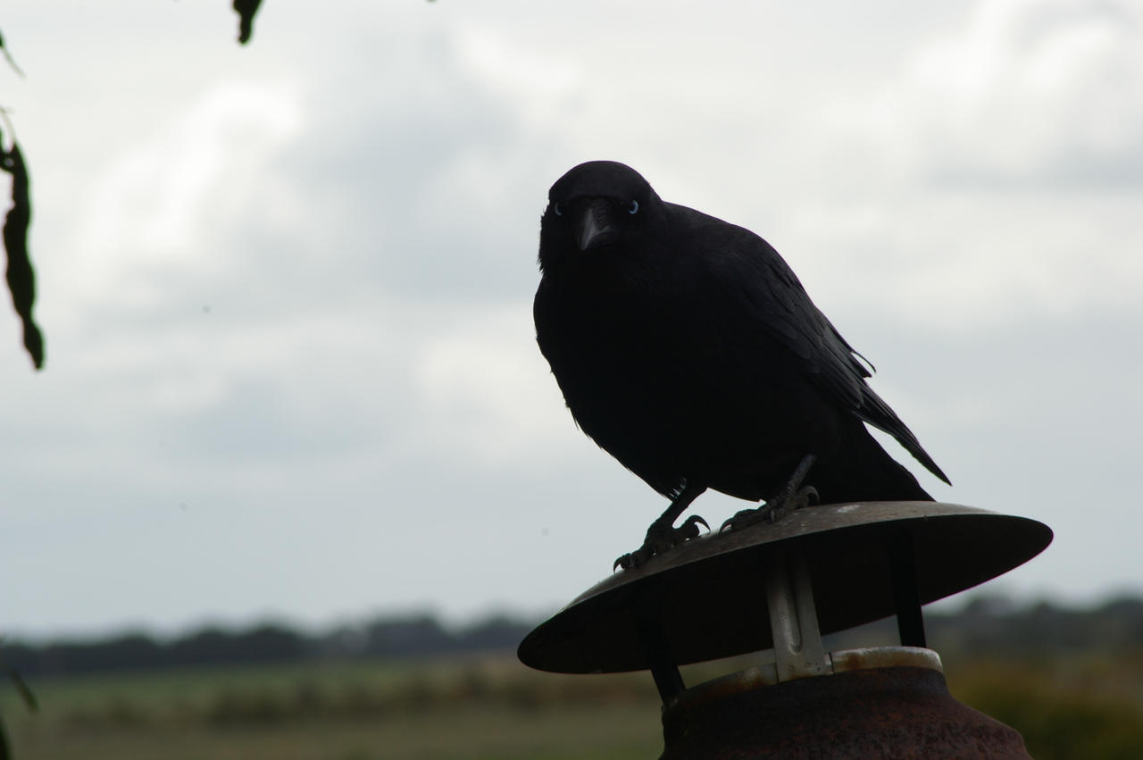 Australian Raven VI by FallowpenStock
