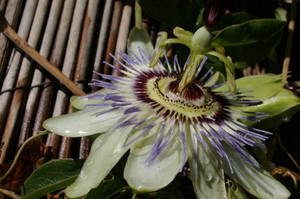 Passionfruit Flower 5 by FallowpenStock