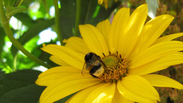 Bumblebee on a flower 2
