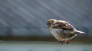 House sparrow - wallpaper