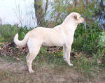 Yellow Lab - 1