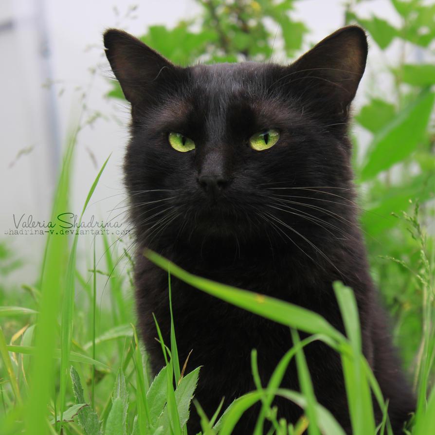 Cat by shadrina-v