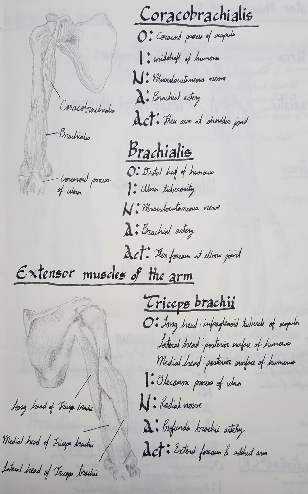 15  Flexor and Extensor Muscles of the Arm by 2440080345 on