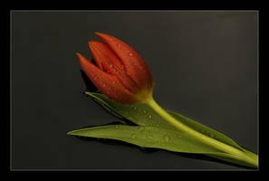 tulip V by h9351
