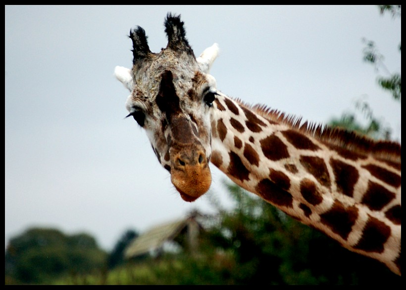 Giraffe by twistedtoy
