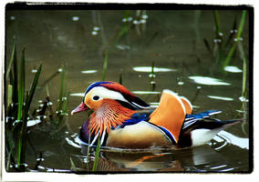 Mandarin Duck by twistedtoy
