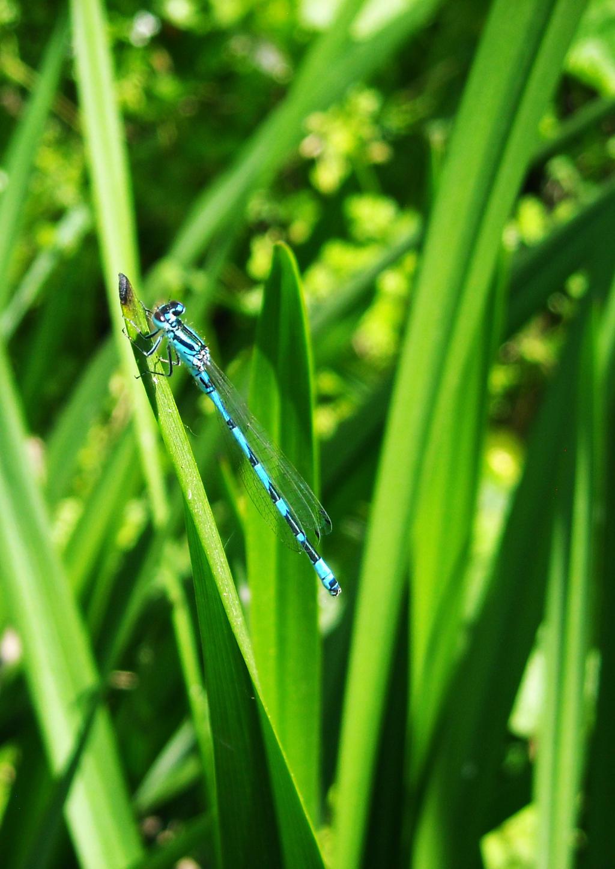 happy blue damselfly III by xaaranovack