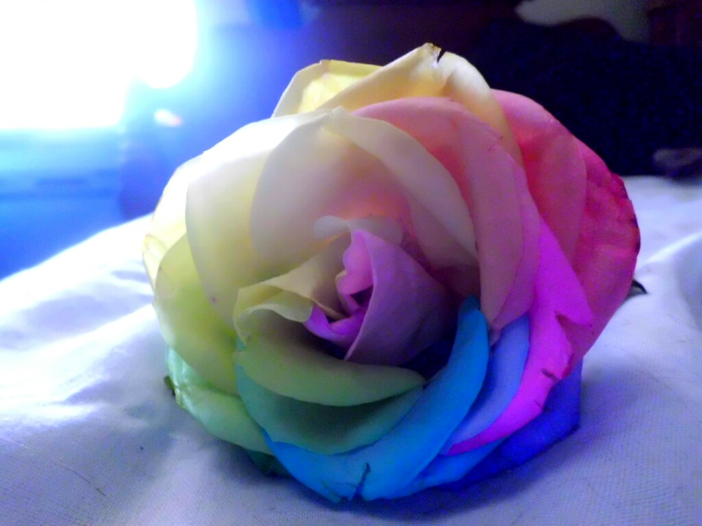 Rainbow rose by color me beautifull on deviantart for How to color roses rainbow
