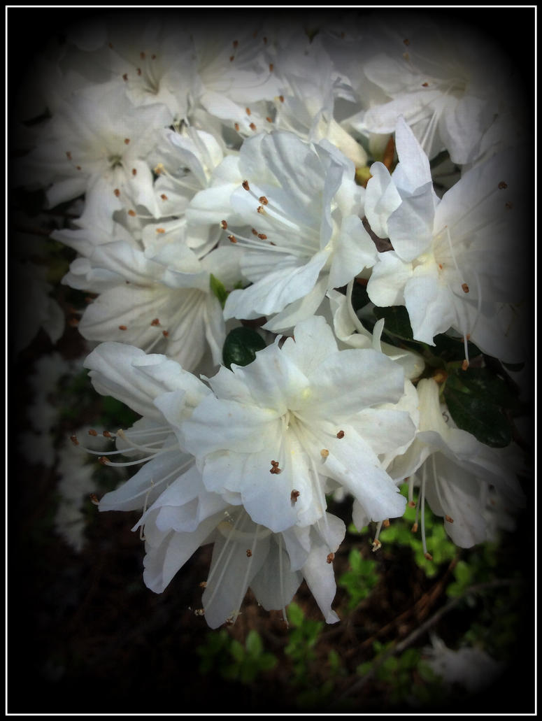 White Petals 2 by WVUARTIST