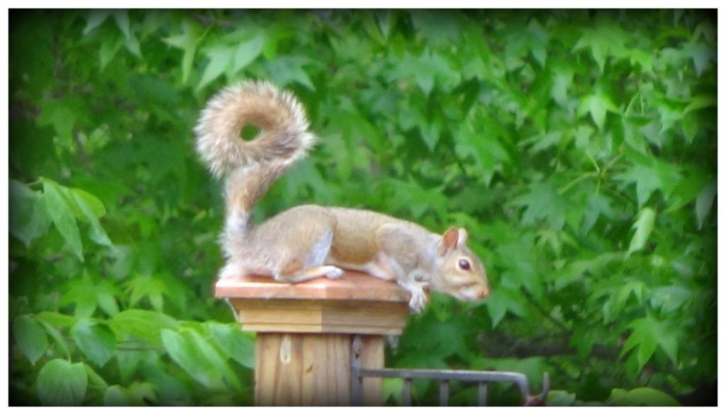 Squirrel 2 by WVUARTIST