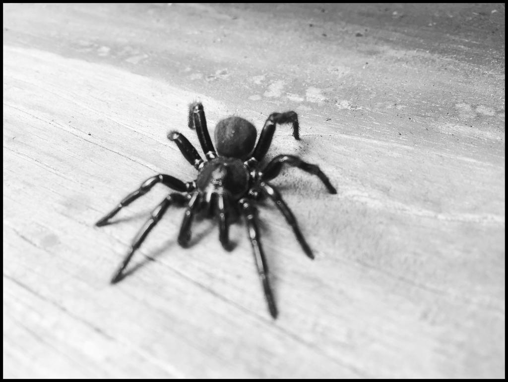 Scary Spider 2 by WVUARTIST