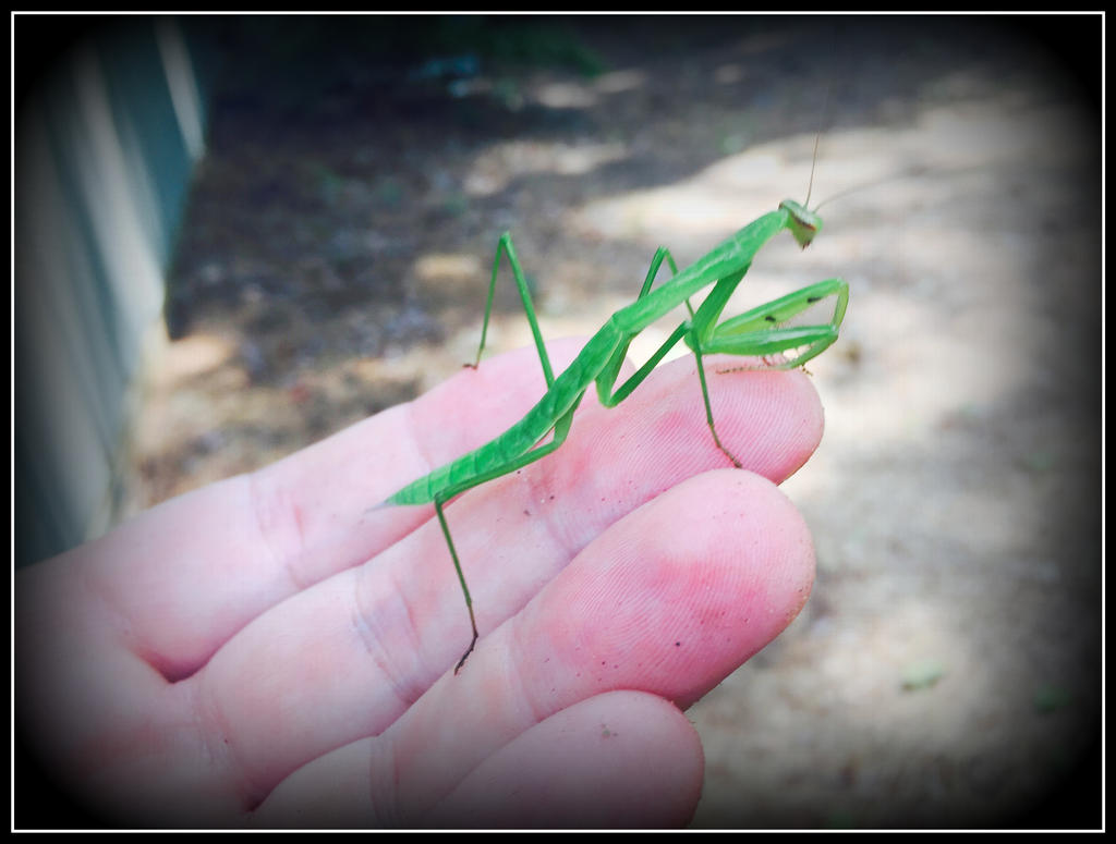 Mantis in my Hand 2 by WVUARTIST