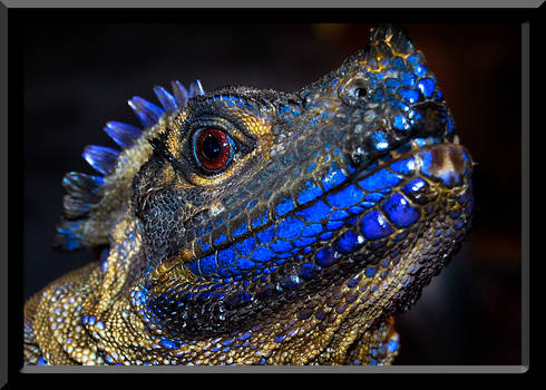 Sailfin Dragon