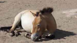 Przewalski horse 3