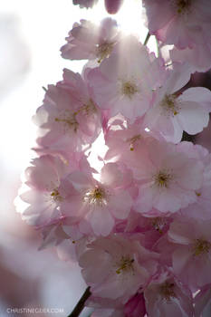 holy blossoms