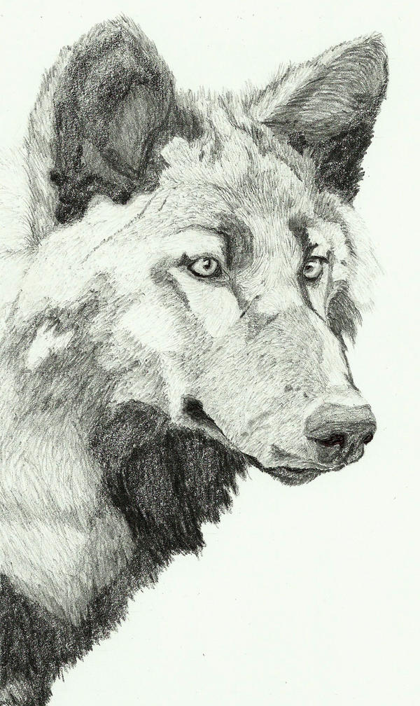 Black wolf by Sollerion