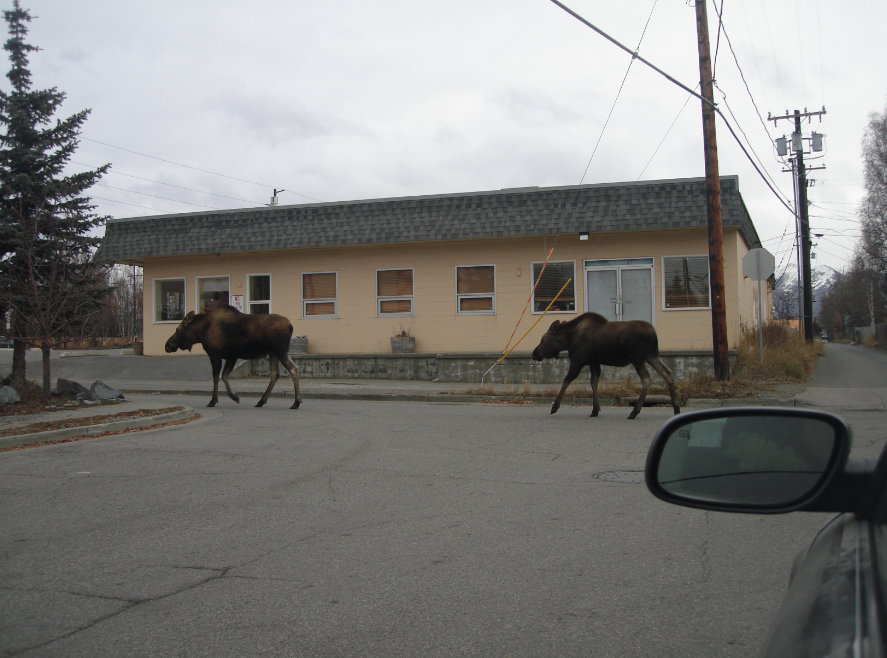 Welcome to Alaska. Moosey pic by Fox-Rachel