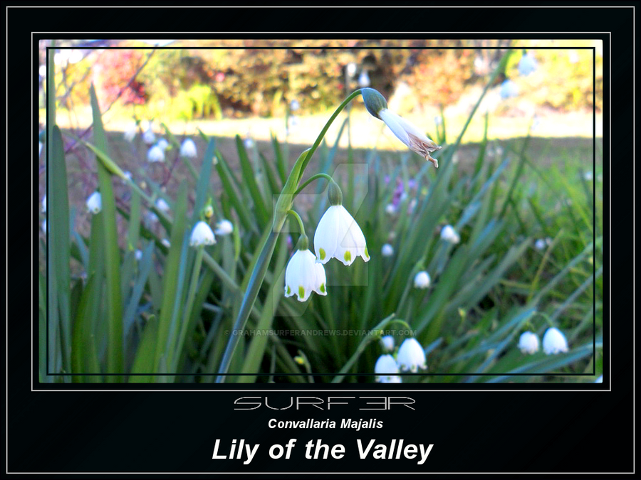 Lily of the Valley by GrahamSurferAndrews
