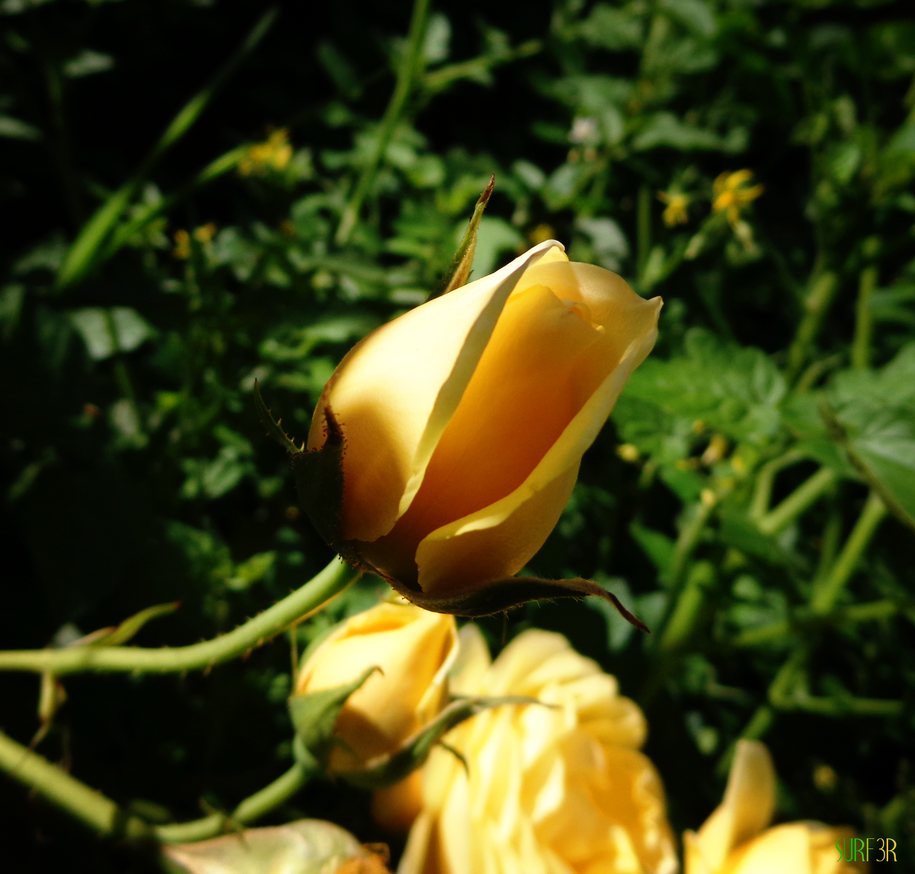 Yellow rose bud by GrahamSurferAndrews