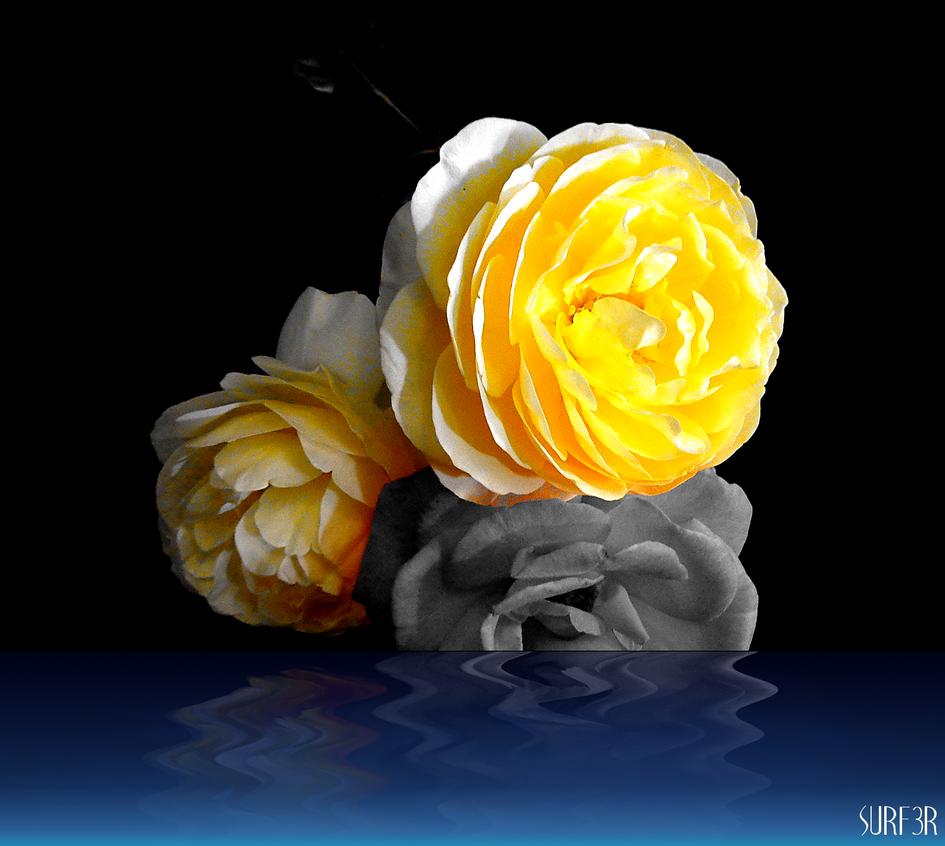 Flowers Yellow Reflect by GrahamSurferAndrews
