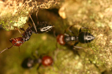 red ants by aratrus