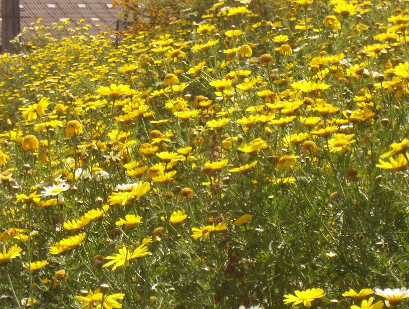 [Casa de Virgo] Jardines Exteriores Flores_Amarillas_by_Respinoza