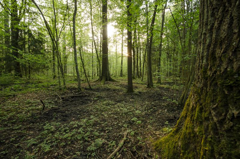 BIalowieza Forest by sinawali