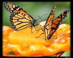 Butterflies by kazfolio