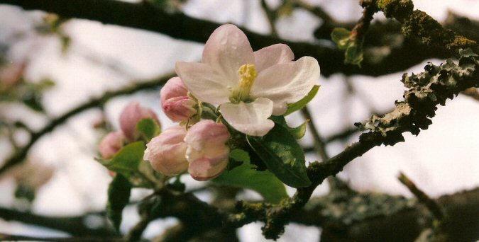 Apple tree by chibipandora