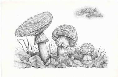 Amanita muscaria by Polygraff