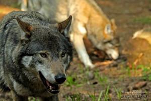 Grey Wolf VI by SaraJArts