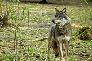 Grey Wolf I by SaraJArts