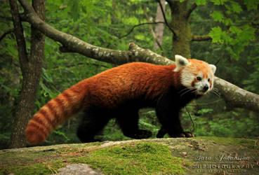 Red Panda II by SaraJArts