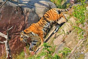 The Amur Tiger II by SaraJArts